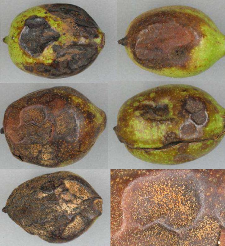 colletotrichum spp. 2