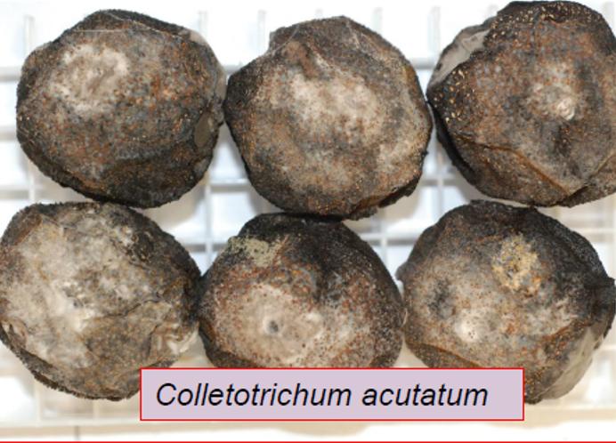 colletotrichum spp.